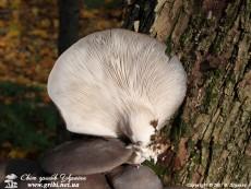 Pleurotus_ostreatus_17