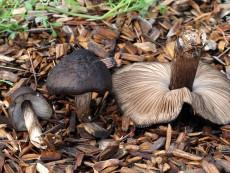Pluteus atromarginatus1