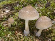 Pluteus semibulbosus1