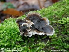 Porostereum_spadiceum_8