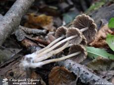 Psathyrella corrugis / Псатирелла зморшкувата