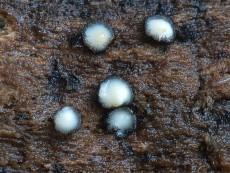 Pseudolachnea hispidula3