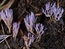 Ramariopsis pulchella