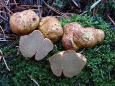 Rhizopogon roseolus2