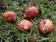 Rhizopogon roseolus3