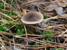 Rhodocollybia_butyracea_7