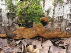 Rigidoporus crocatus1