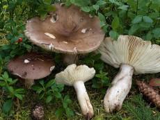 Russula consobrina1