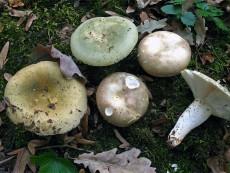 Russula heterophylla3