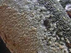 Schizopora paradoxa1