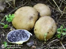 Scleroderma citrinumPers., 1801 (Syn.: Scleroderma vulgareHornem., 1829)