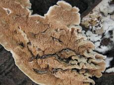 Steccherinum bourdotii2