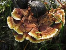 Steccherinum murashkinskyi1