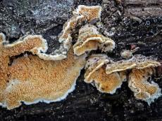 Steccherinum ochraceum2