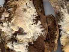 Stromatoscypha fimbriata1