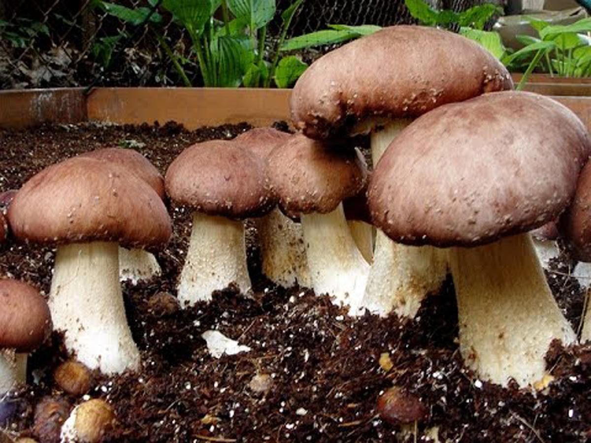 Выращивание грибов в домашних условиях - как вырастить