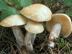 Suillus placidus