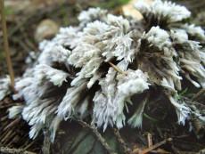 Thelephora anthocephala
