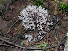 Thelephora anthocephala2