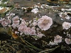 Trichaptum fuscoviolaceum2