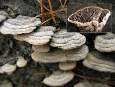 Trichaptum laricinum