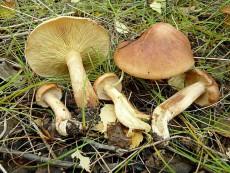 Tricholoma flavobrunneum2