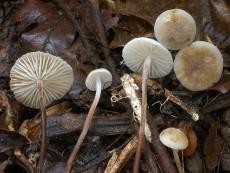 marasmius undatus