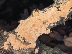 phellinus ferreus1