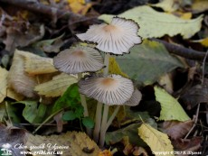 Coprinellus_impatiens_0