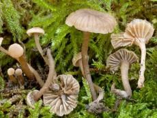 Camarophyllopsis foetens