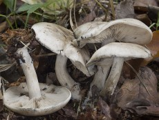 Lyophyllum leucophaeatum
