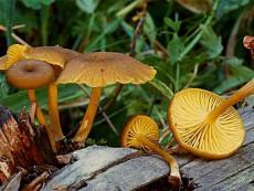 Chrysomphalina chrysophylla