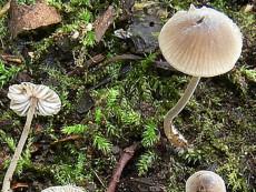 Mycenella margaritispora
