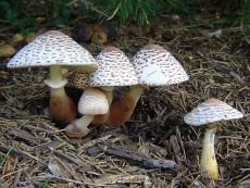 Leucoagaricus americanus
