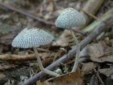 Coprinopsis echinospora