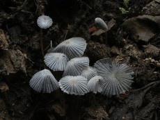 Coprinopsis patouillardii