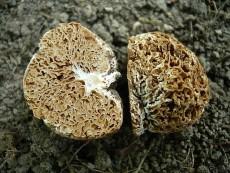 Gautieria morchelliformis