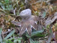 Geastrum pseudolimbatum