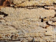 Alutaceodontia alutacea