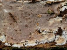 Clavulicium macounii