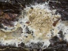 Coniophora olivacea