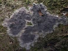 Peniophora violaceolivida