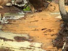 Phlebia serialis