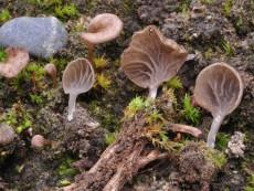 Arrhenia auriscalpium