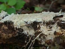 Porotheleum fimbriatum