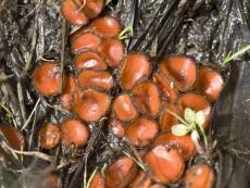 Scutellinia-crinita