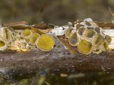Velutaria rufo-olivacea
