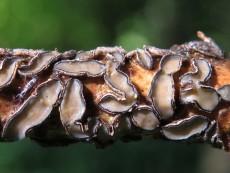 Colpoma quercinum