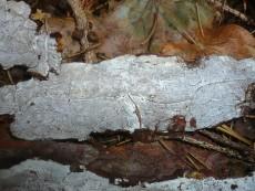 Exidiopsis calcea