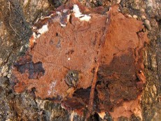 Tomentella bryophila